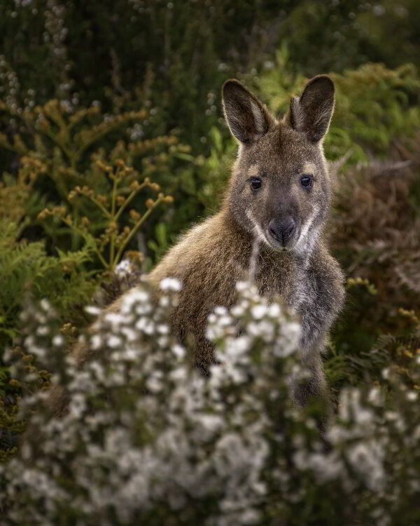A red wallaby<br/>Photo Credit: Alistair Haughton