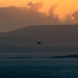 An eagle flies over Cape Bruny at sunset